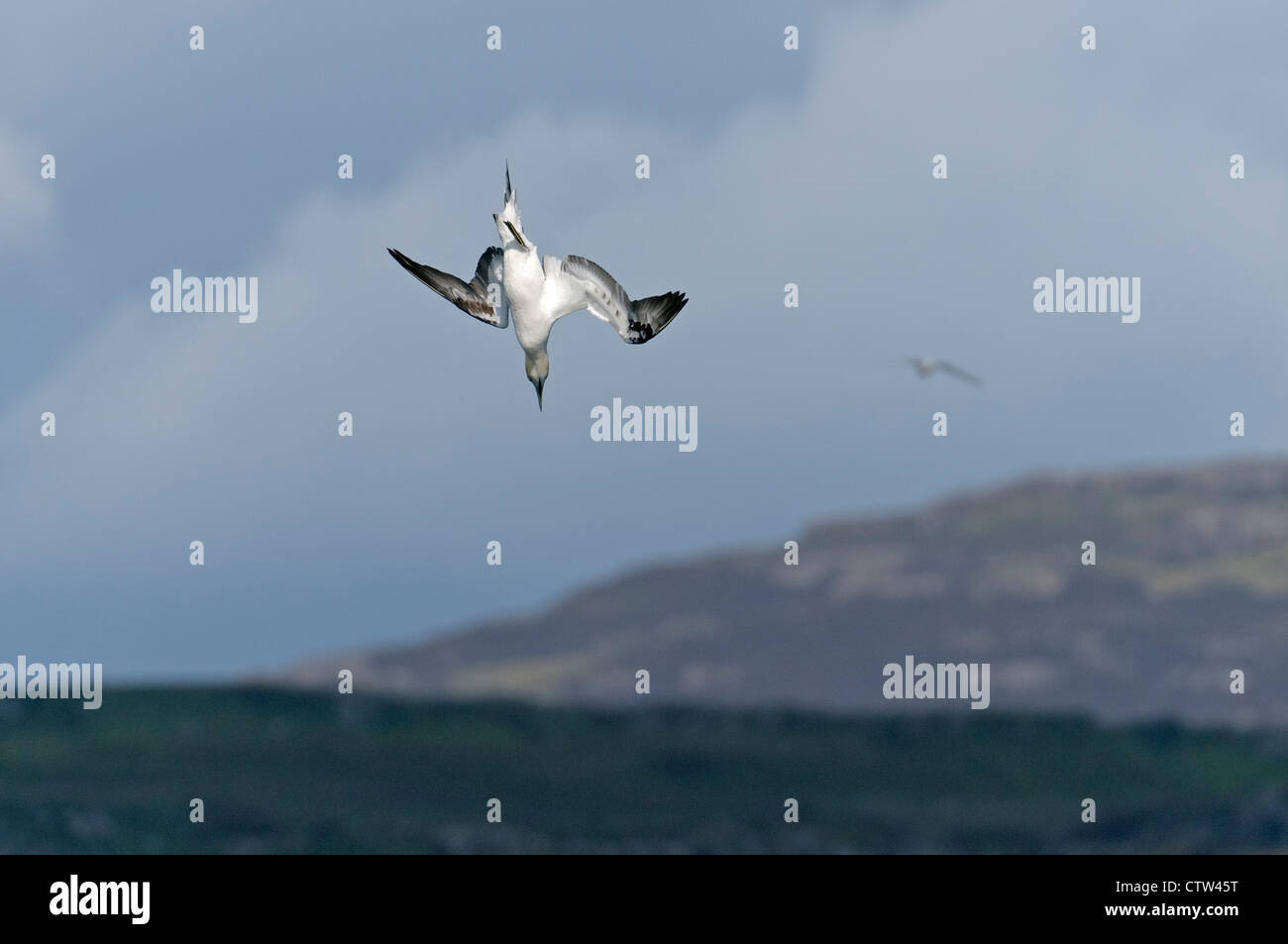 Northern gannet (Morus bassanus) plunge diving for fish in sea loch. Isle of Mull, Scotland. June. - Stock Image