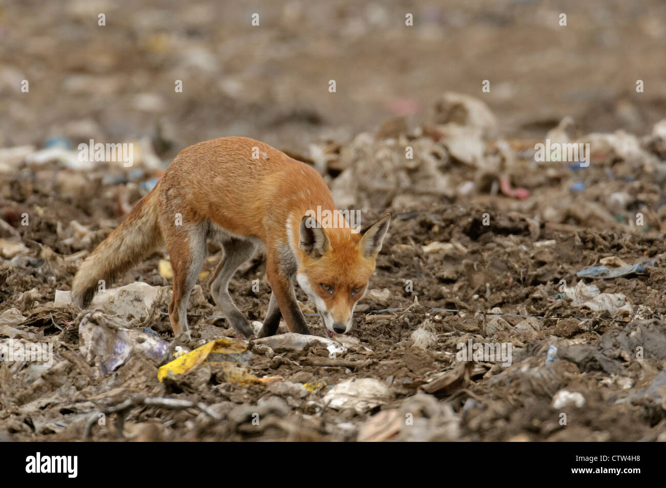Red fox (Vulpes vulpes) scavenging at landfill site in Essex. August 2011. Stock Photo