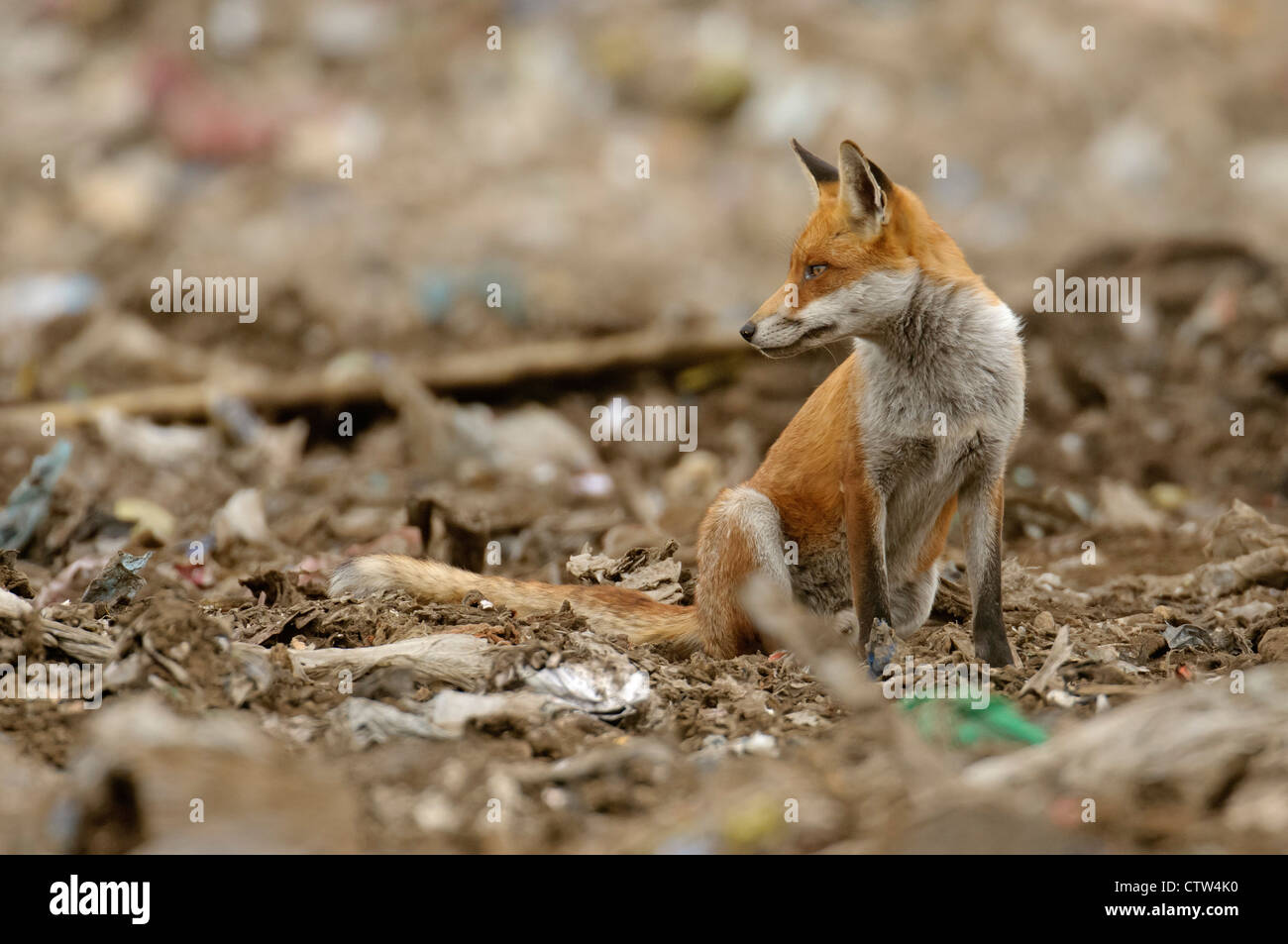 Red fox (Vulpes vulpes) scavenging at landfill site in Essex. August 2011. - Stock Image