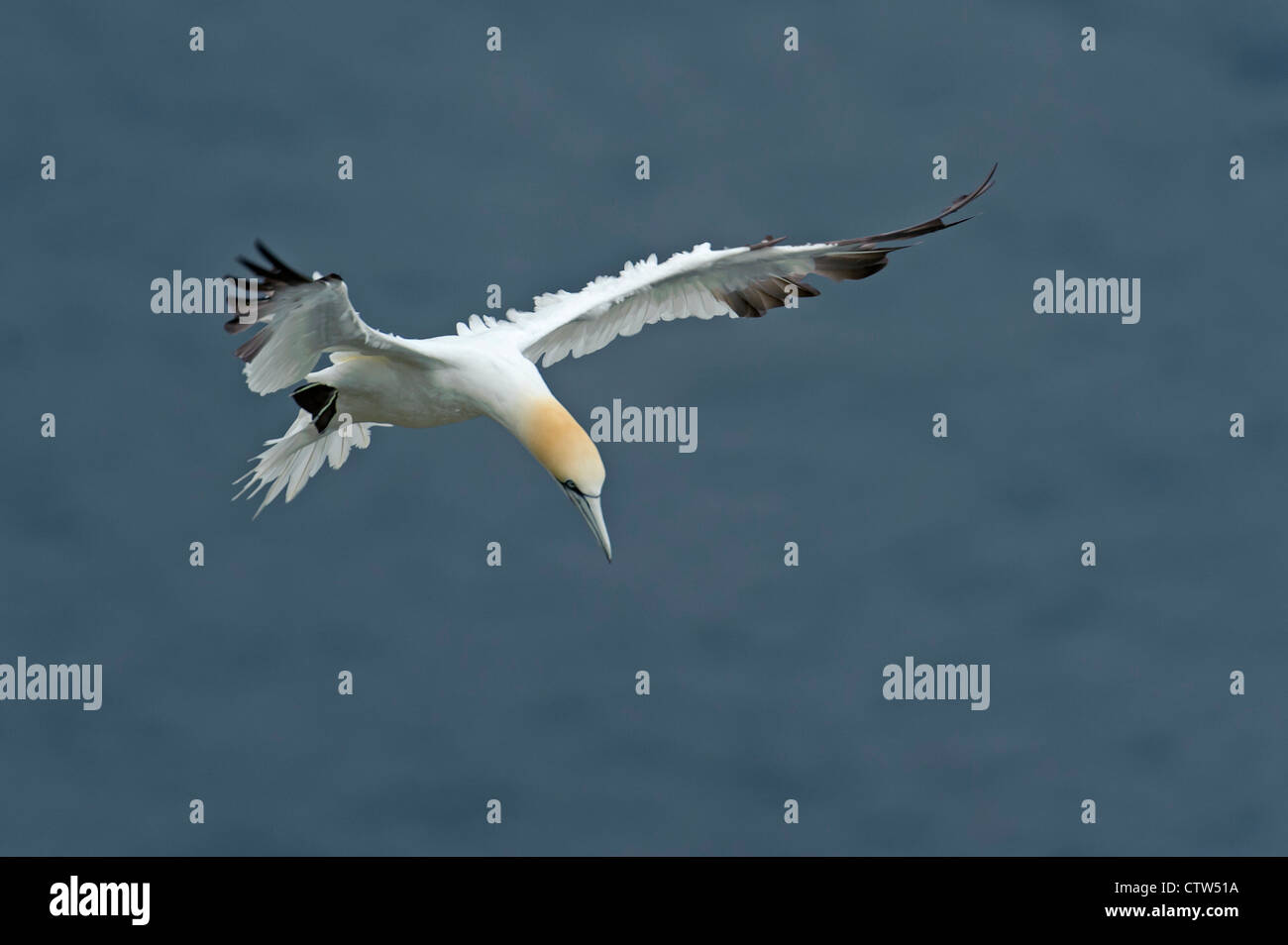 Northern gannet (Morus bassanus) summer adult in flight, preparing to land. Shetland Isles. June 2011. - Stock Image
