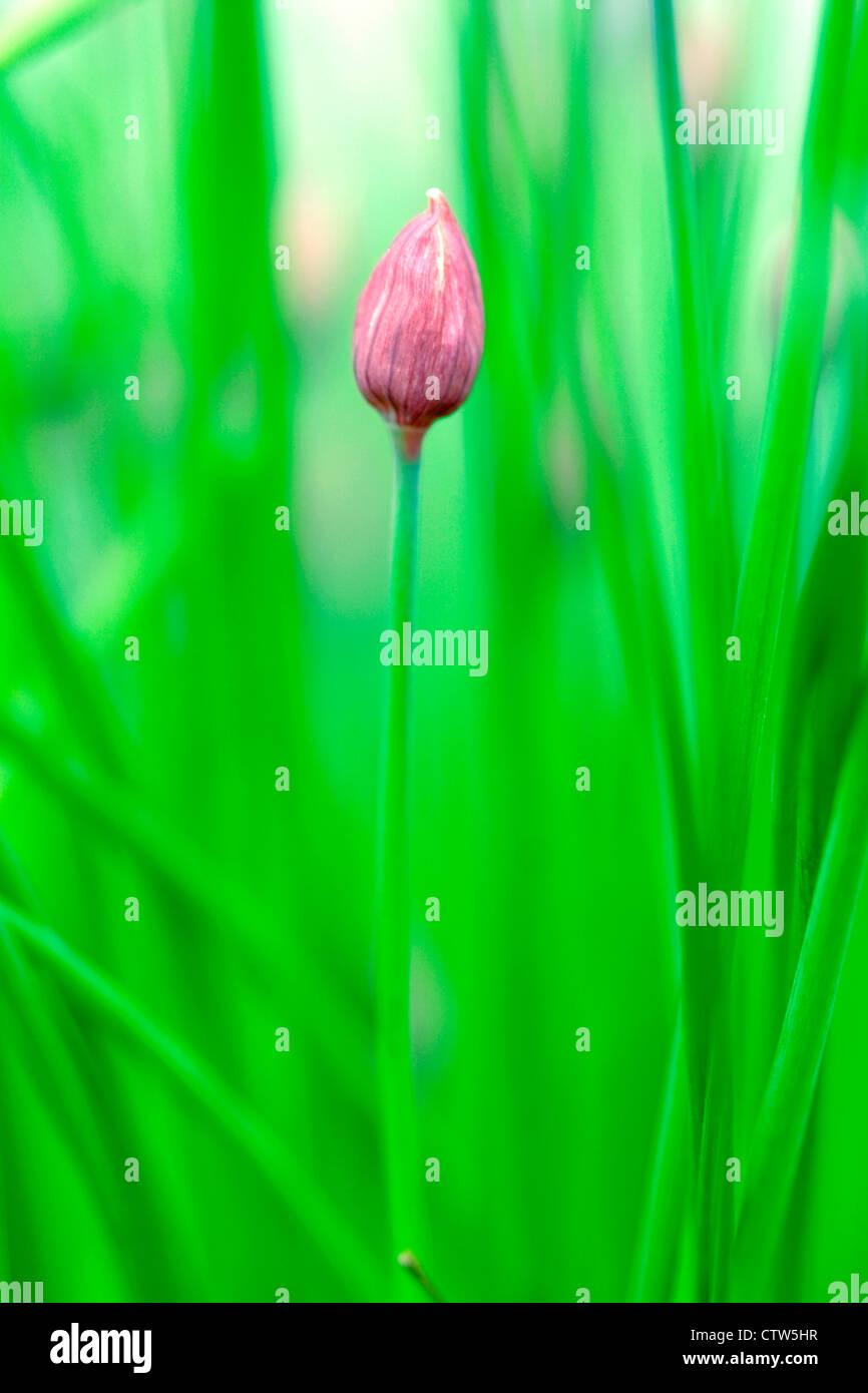 Unopened chive flower (Allium schoenoprasum), England, UK - Stock Image