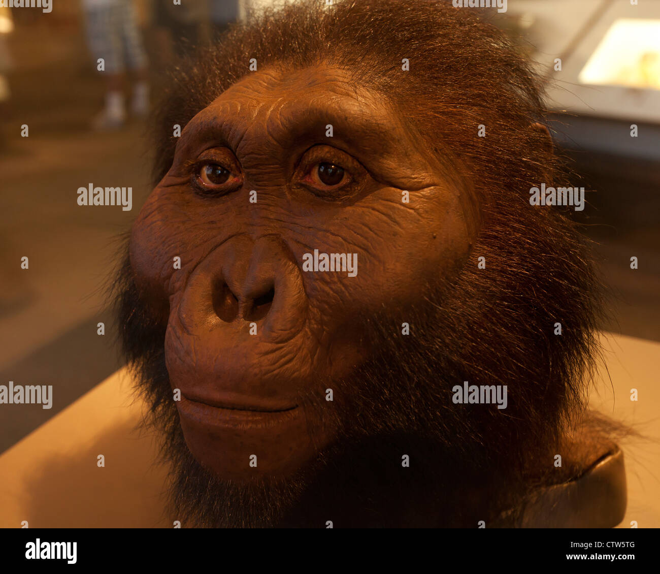 Paranthropus boisei reconstruction - American Museum of Natural History, Washington, DC - Stock Image