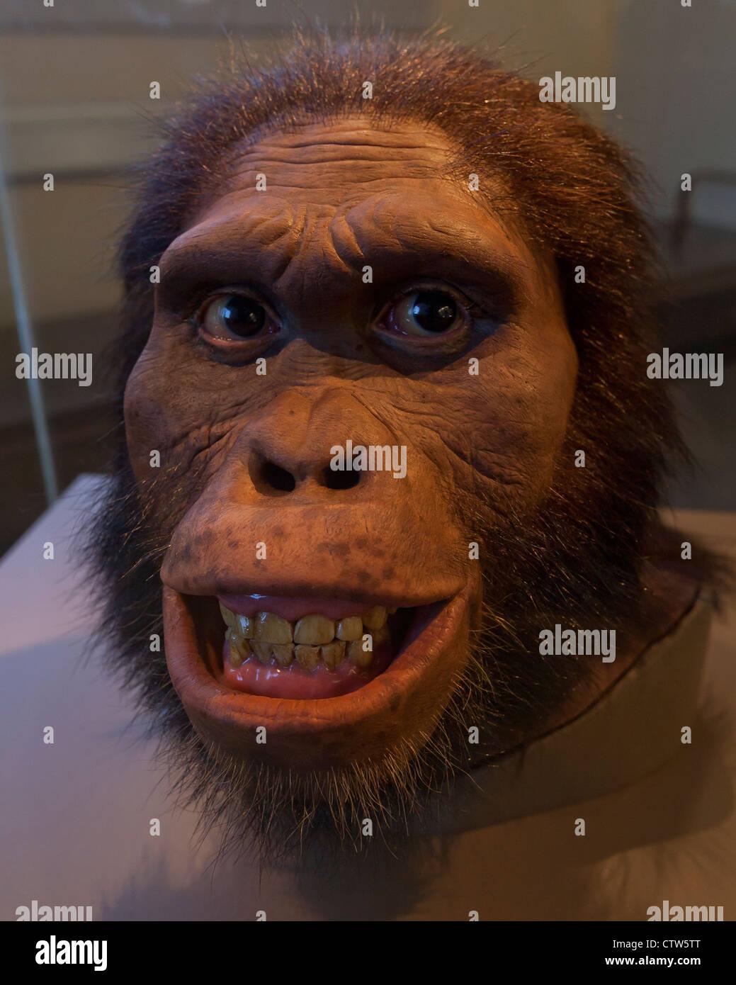 Australopithecus africanus reconstruction - American Museum of Natural History, Washington, DC - Stock Image