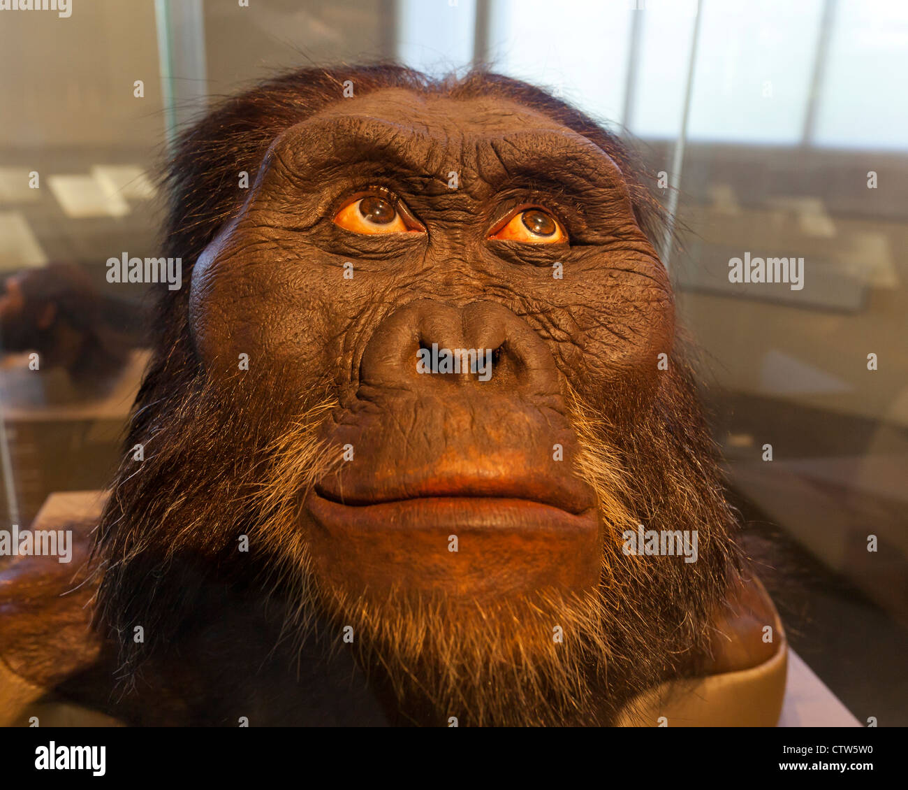Australopithecus afarensis reconstruction - American Museum of Natural History - Stock Image