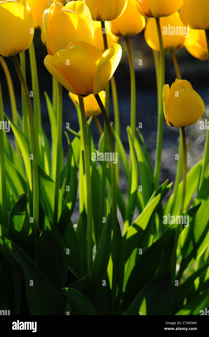 Yellow tulips in full bloom. The tulip is a perennial, bulbous plant with showy flowers in the genus Tulipa. - Stock Image