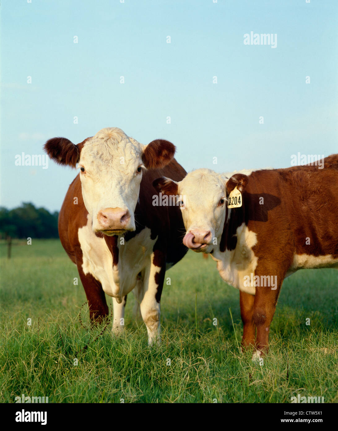 POLLED HEREFORD COW AND BULL CALF Stock Photo: 49725929 - Alamy