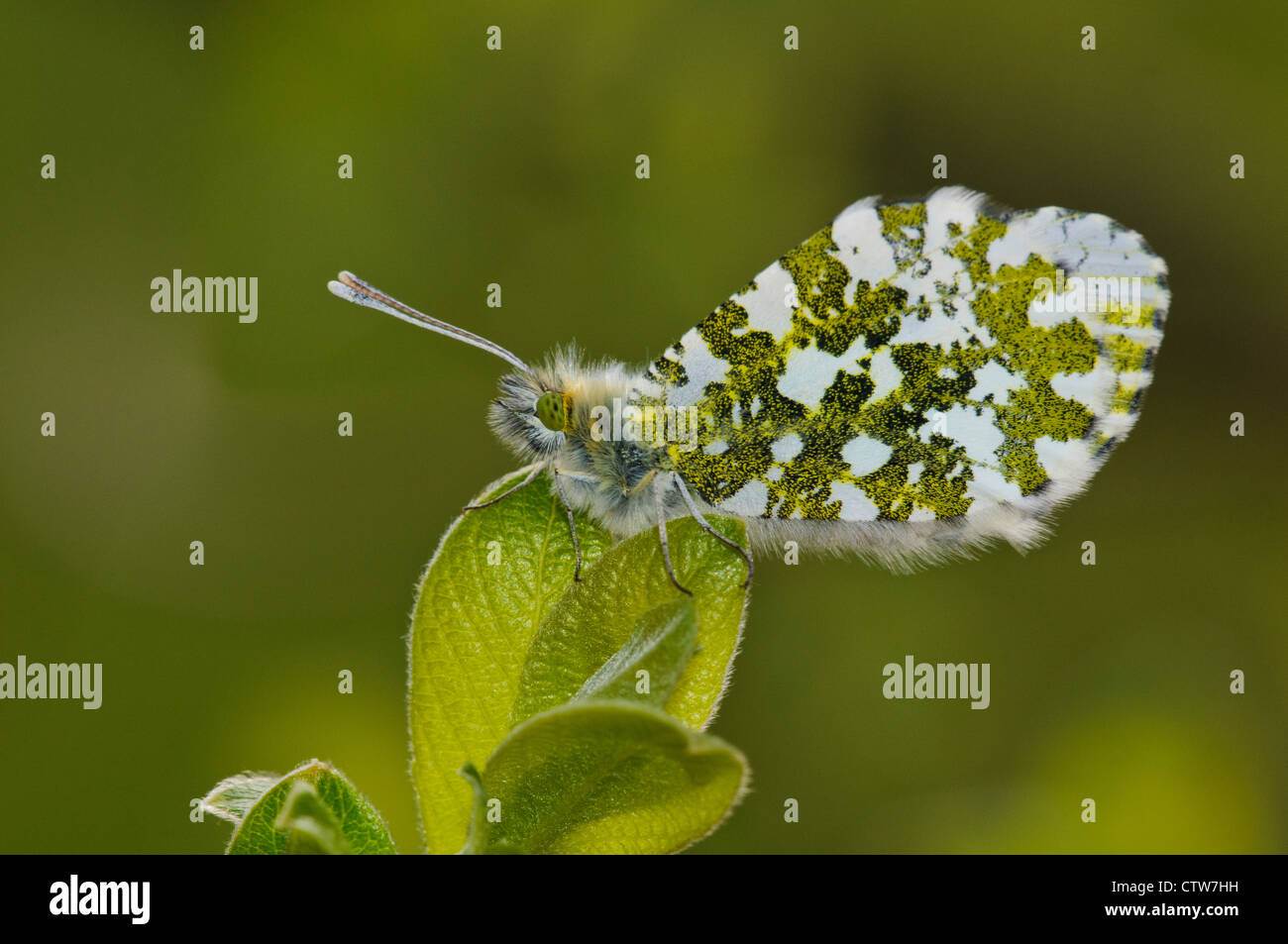 An adult female orange tip butterfly (Anthocharis cardamines) perched on fresh new growth at RSPB Leighton Moss, Stock Photo