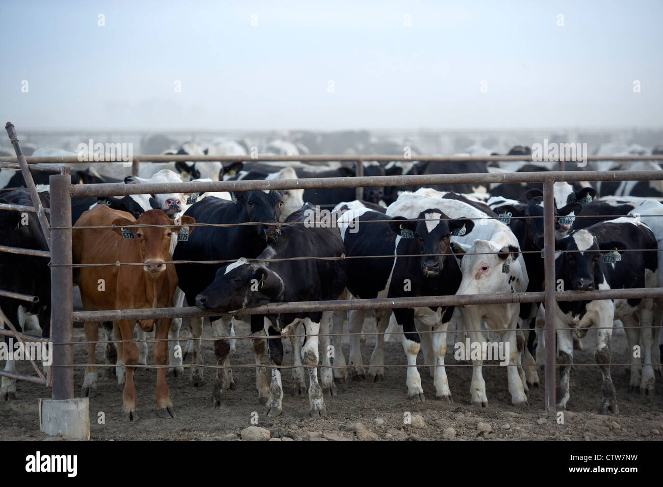 30,000 cattle at the Rocky Ford Feedyard in Rocky Ford, Colorado stir up a cloud of dust that can be seen from miles - Stock Image