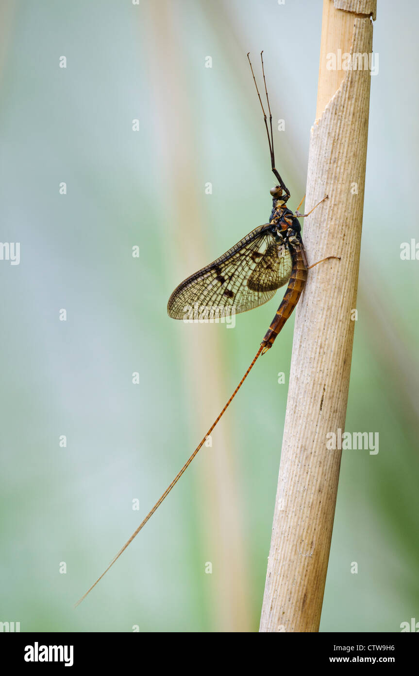 A male spinner of the dark mayfly (Ephemera vulgata) on a reed stem at Goring-on-Thames, south Oxfordshire. May. - Stock Image
