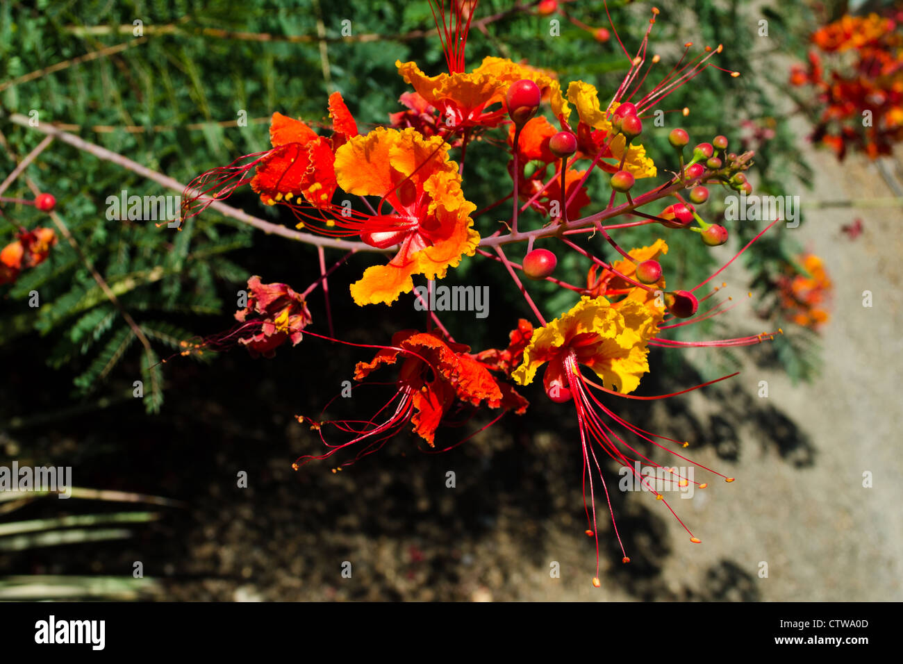 The bright red and yellow flowers of Caesalpinia mexicana, the red bird of paradise - Stock Image