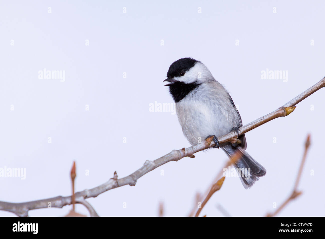 Carolina Chickadee, Poecile carolinensis, at Block Creek Natural Area - Stock Image