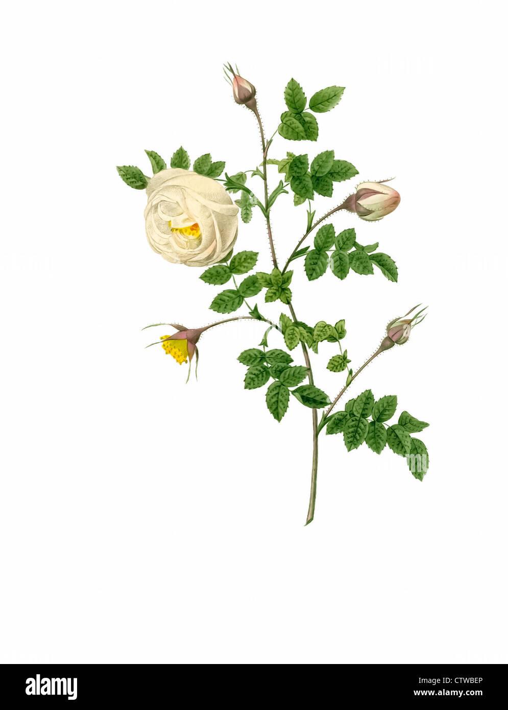 Illustration of rosa hispida argentea Stock Photo