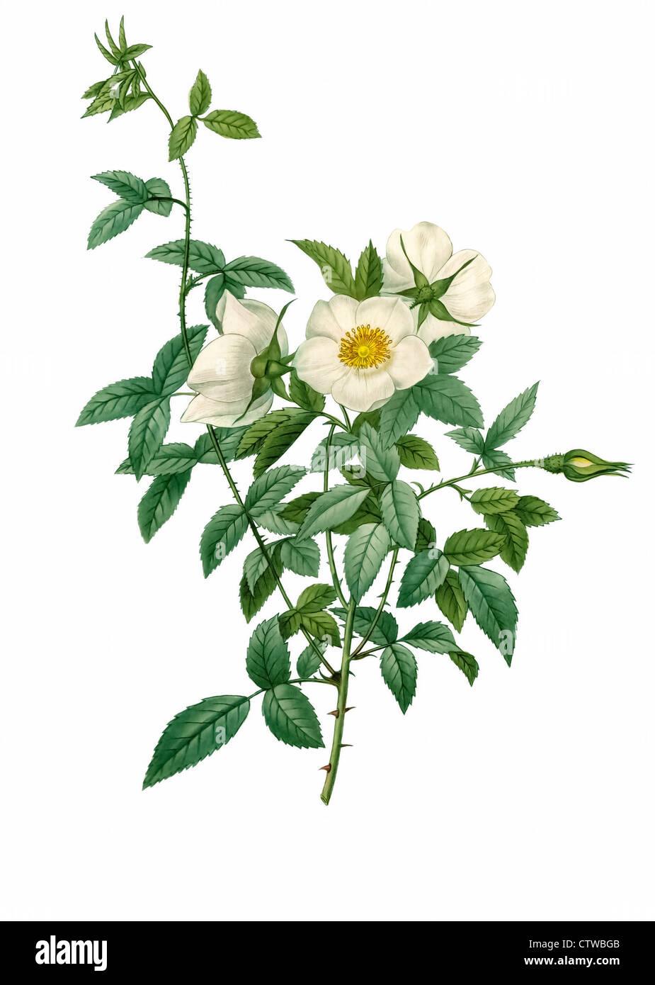 illustration of rosa nivea - Stock Image