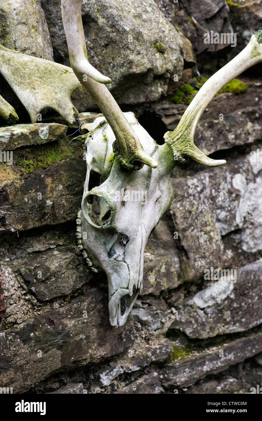 Deer skull hung on a stone wall - Stock Image