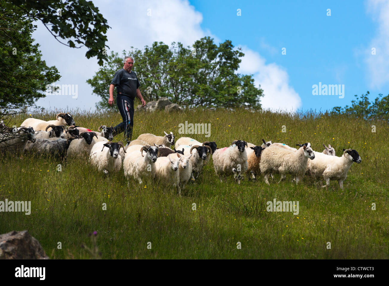 Sheep herding on the edge of the village of Carrick in south Donegal, Republic of Ireland. - Stock Image