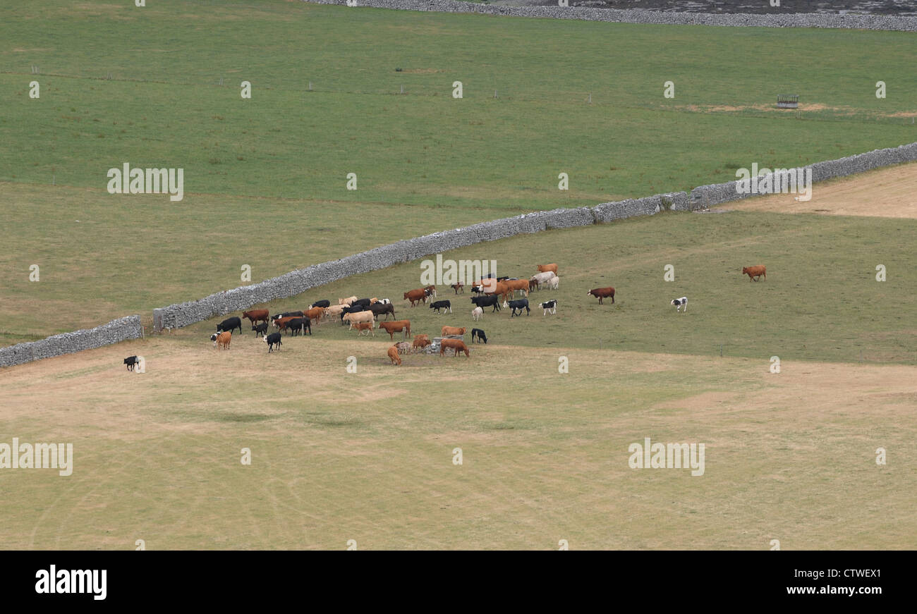 Cattle grazing on, The Burren, County Clare, Ireland. - Stock Image