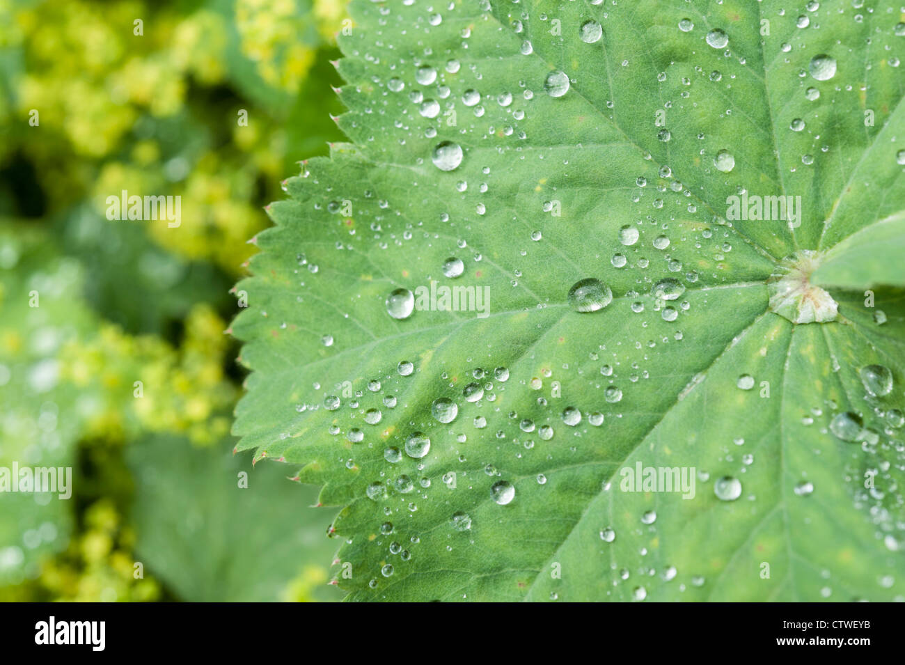 Lady's Mantle Alchemilla herbaceous perennial plants part of the Rosaceae family - Stock Image