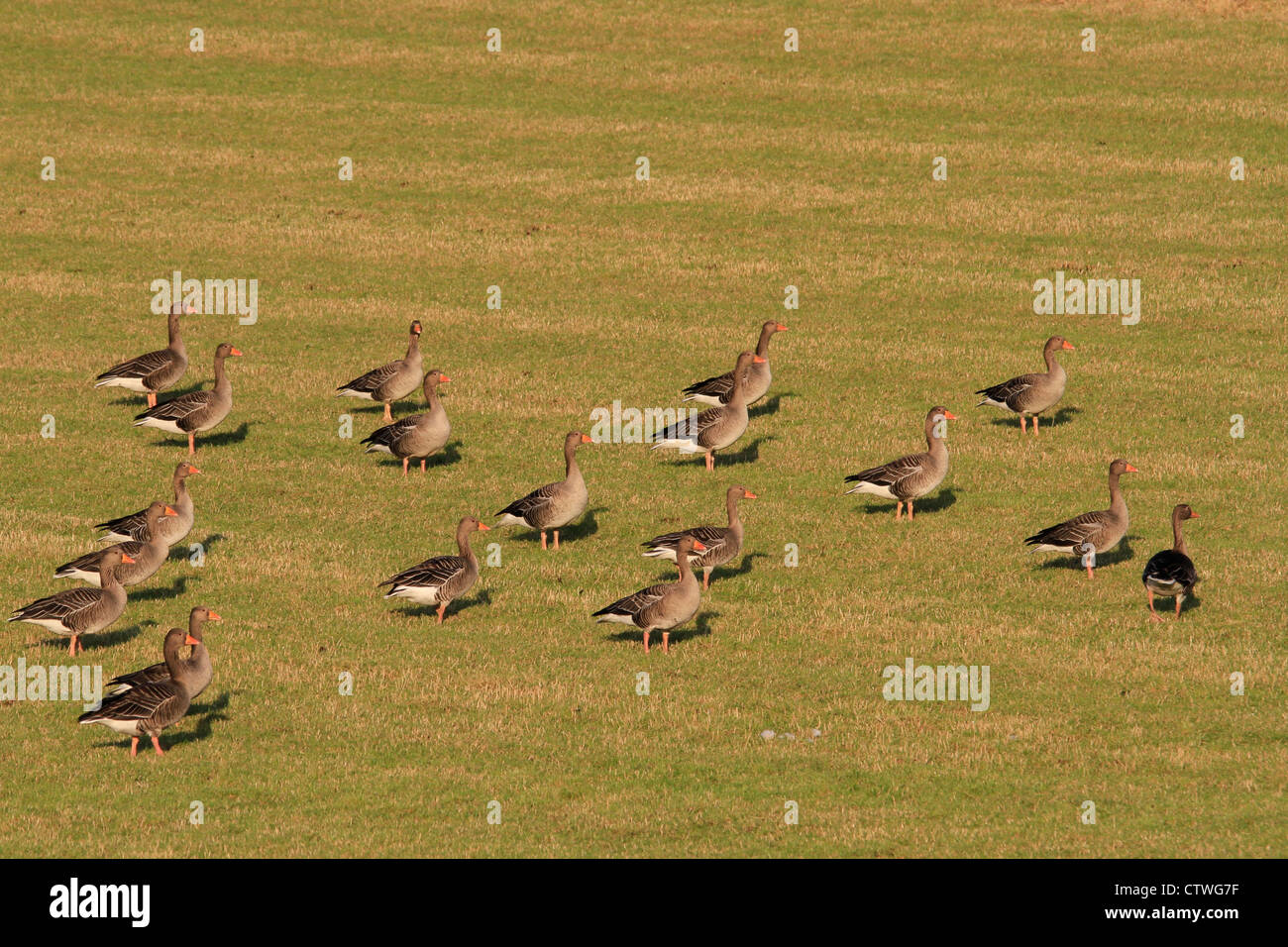 Greylag geese in field, Orkney isles - Stock Image