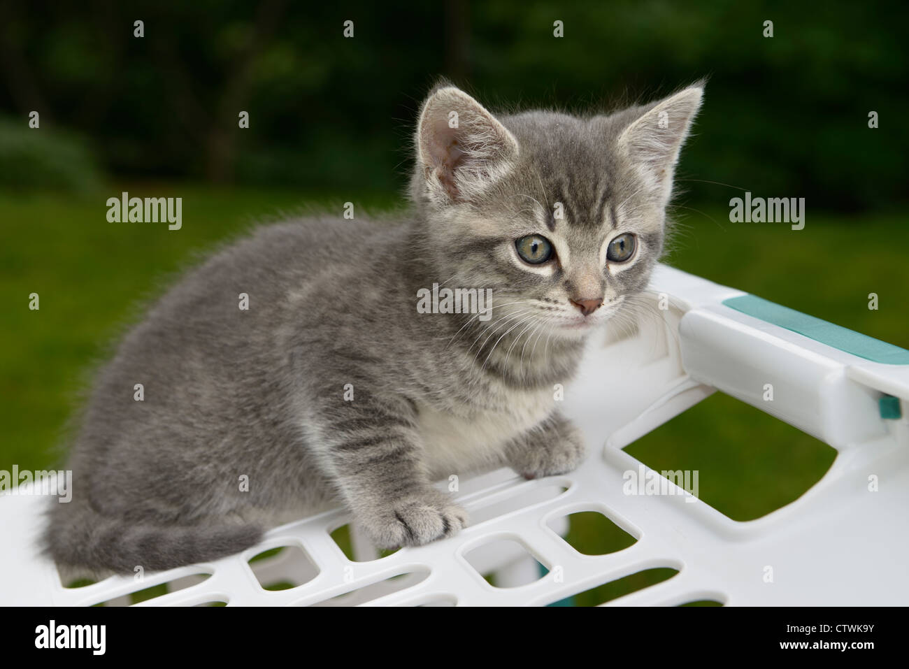 Cautious male gray tabby kitten on a laundry basket outdoors with the M forhead - Stock Image
