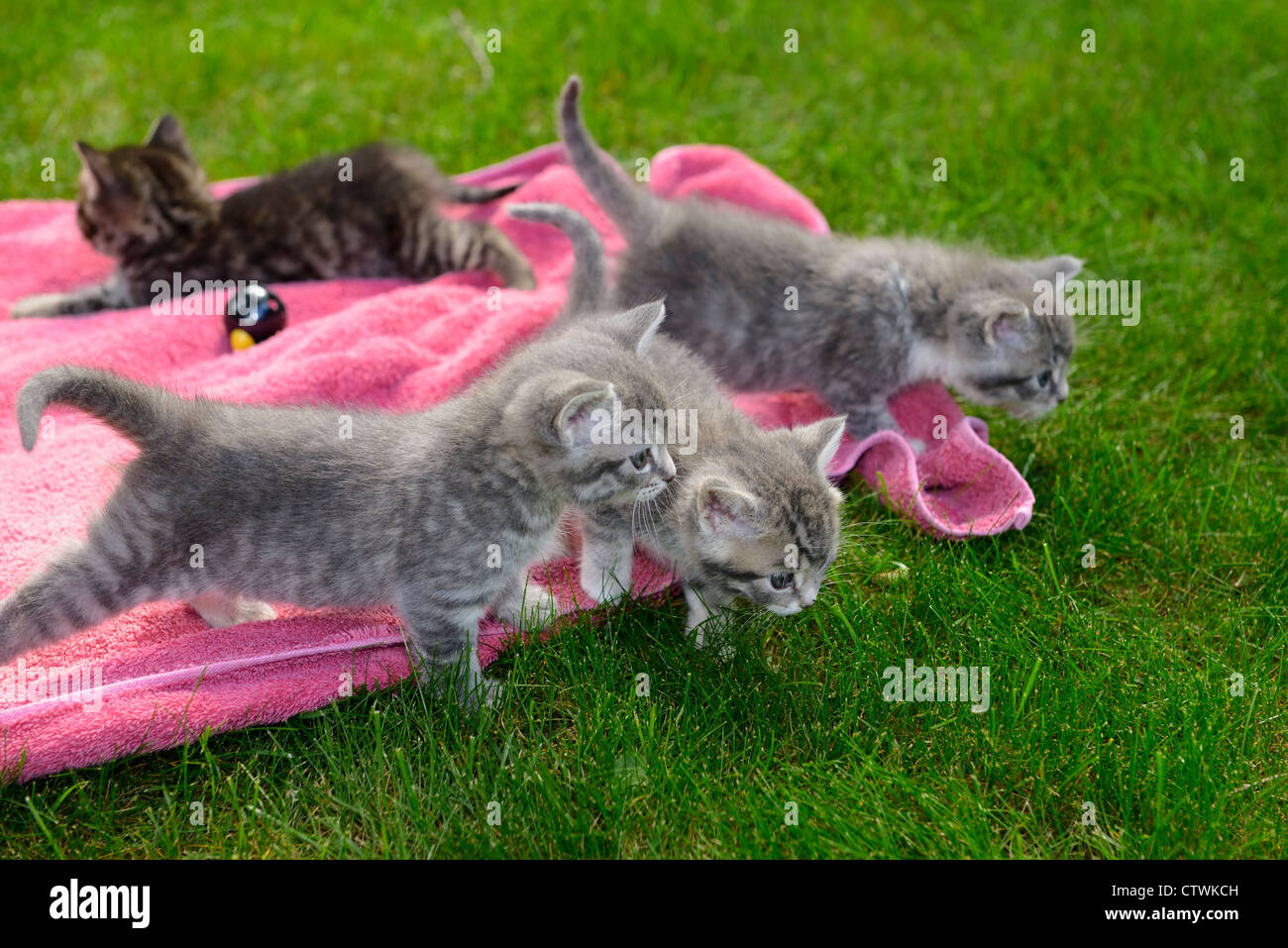Cute gray tabby kitten littermates first venture outdoors nervous about stepping on grass lawn - Stock Image