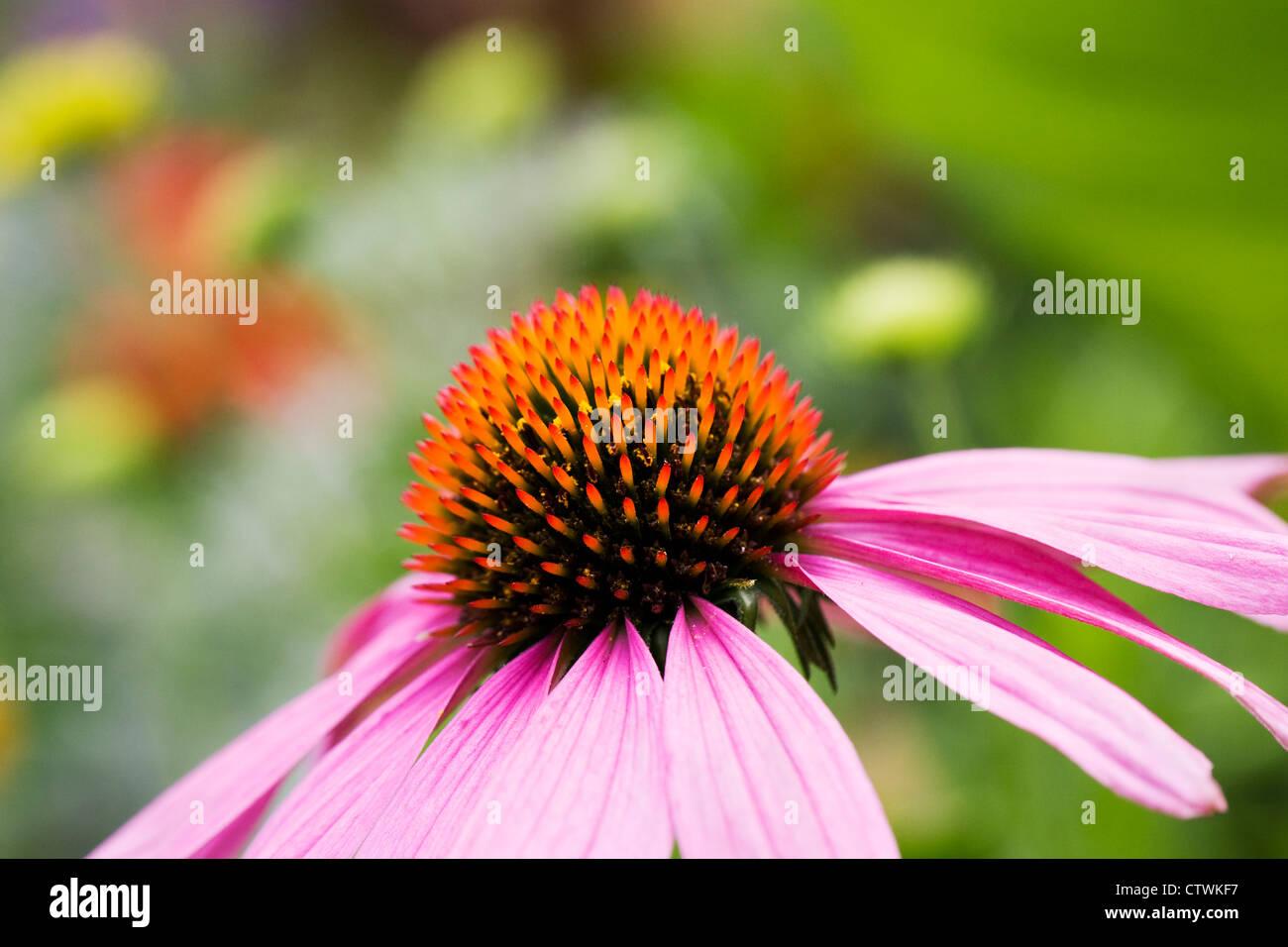 Echinacea purpurea flower head in an herbaceous border. Coneflower. - Stock Image