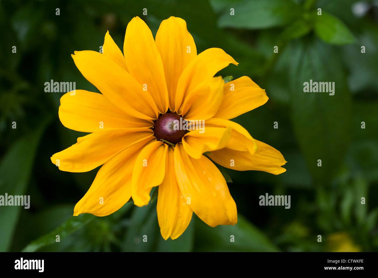 Rudbeckia hirta growing in an herbaceous border. - Stock Image