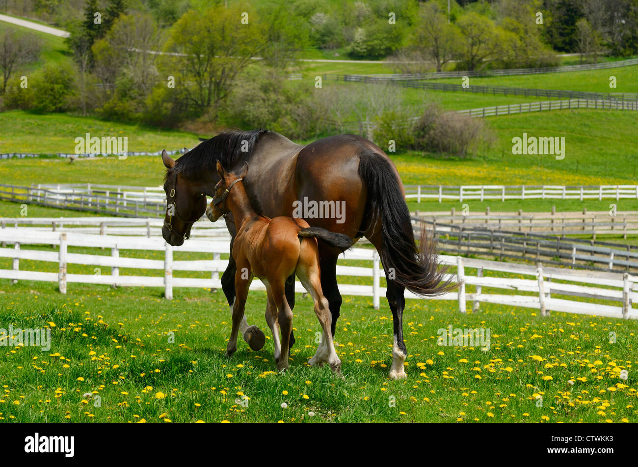 Young foal running close and touching mother horse out in a paddock in Spring Ontario Canada - Stock Image