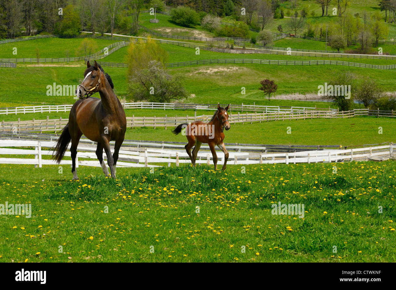 Week old male foal with mother horse running free in a paddock in Spring Schomberg Ontario - Stock Image