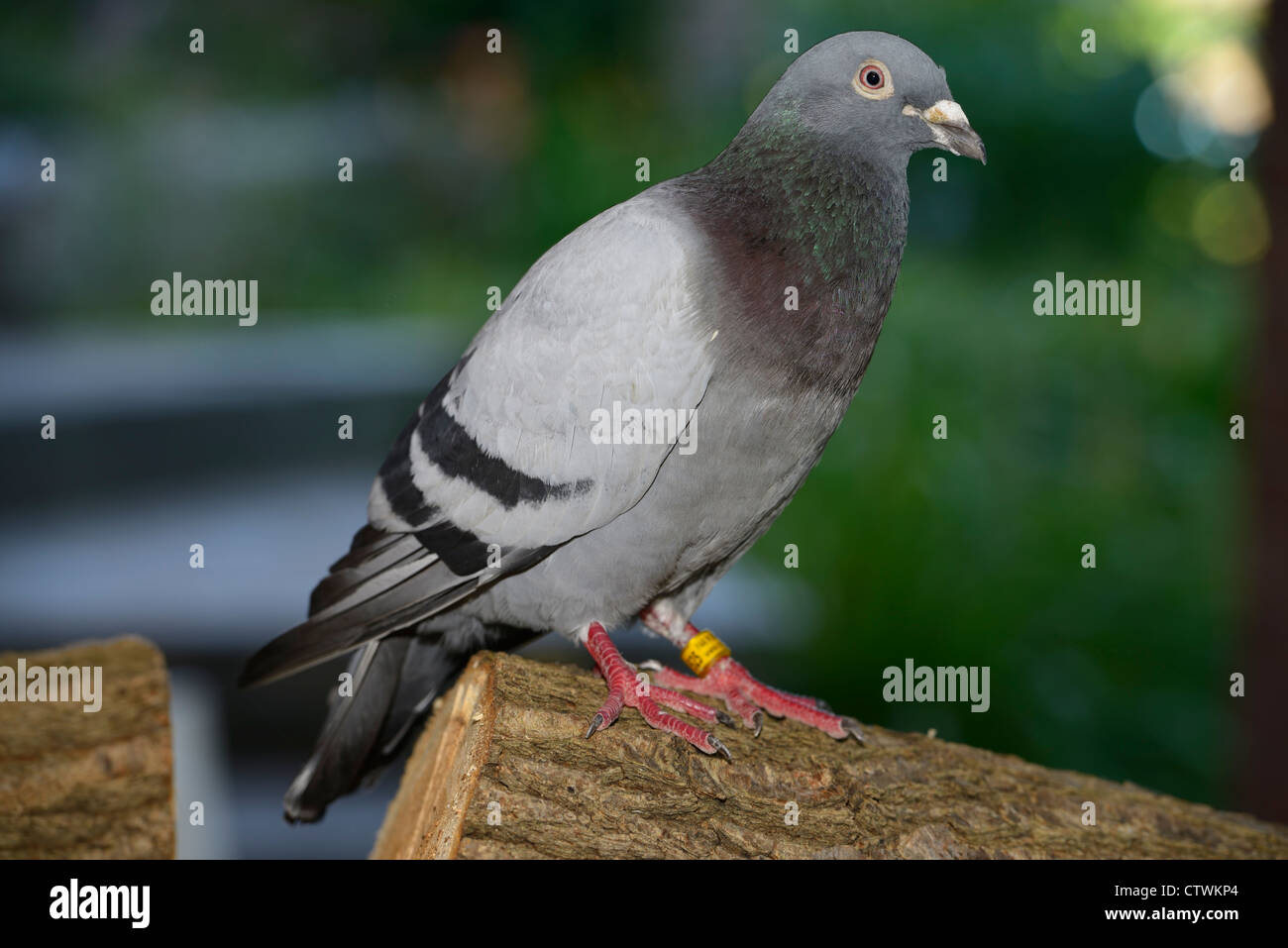 Racing homer pigeon with foot tag on wood pile in Toronto - Stock Image