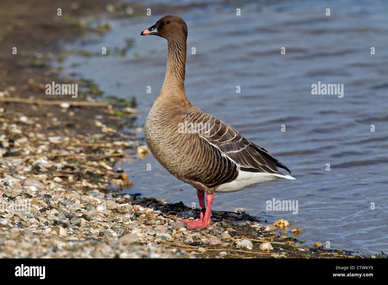 Pink-footed goose (Anser brachyrhynchus) portrait, Germany - Stock Image