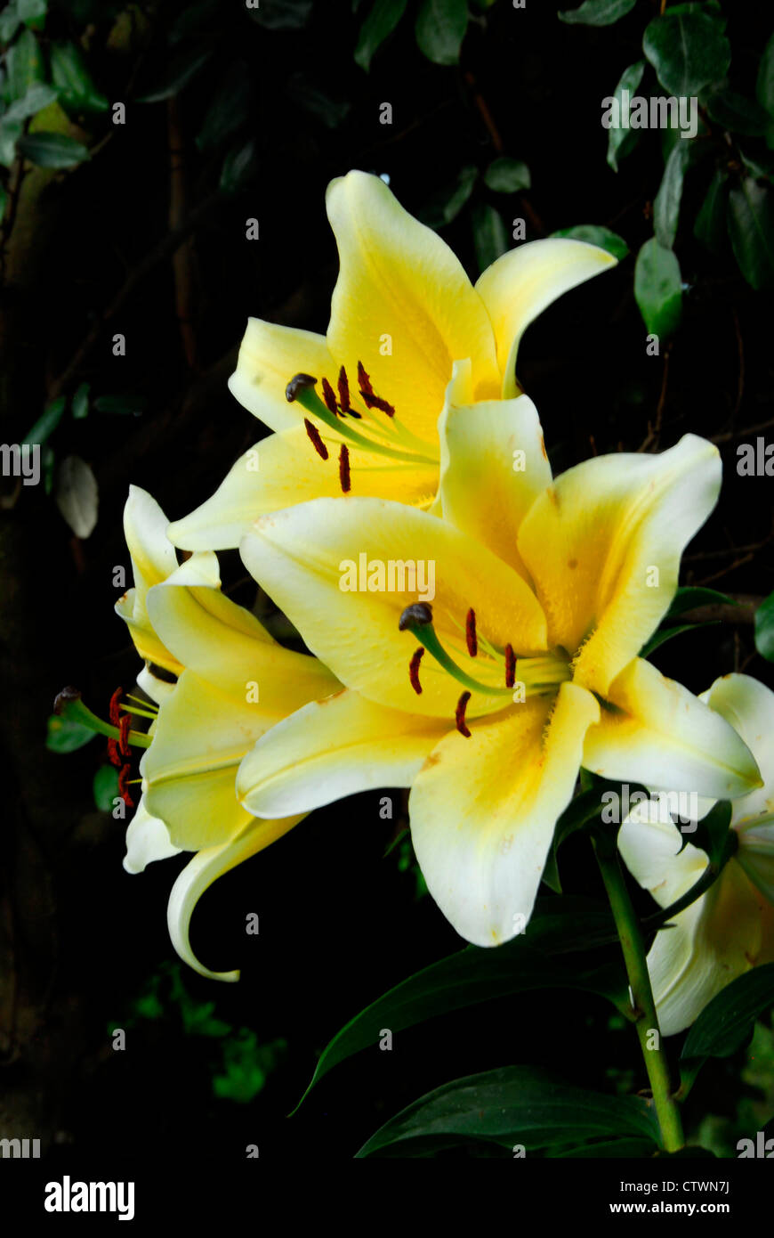Flowers of an oriental tree lily,'yellow rocket'. Stock Photo
