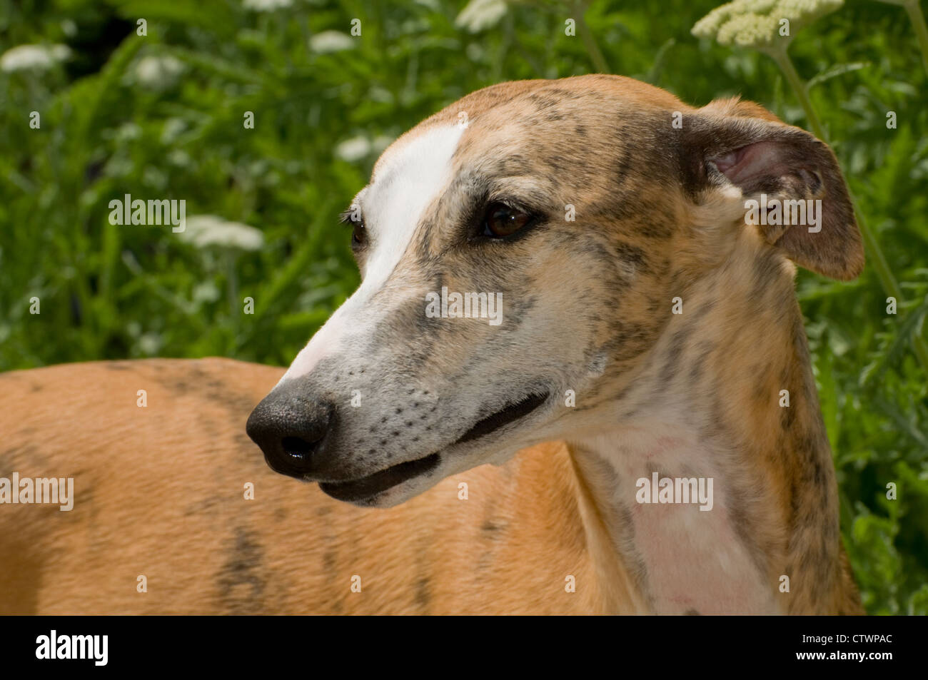 Whippet-head shot - Stock Image