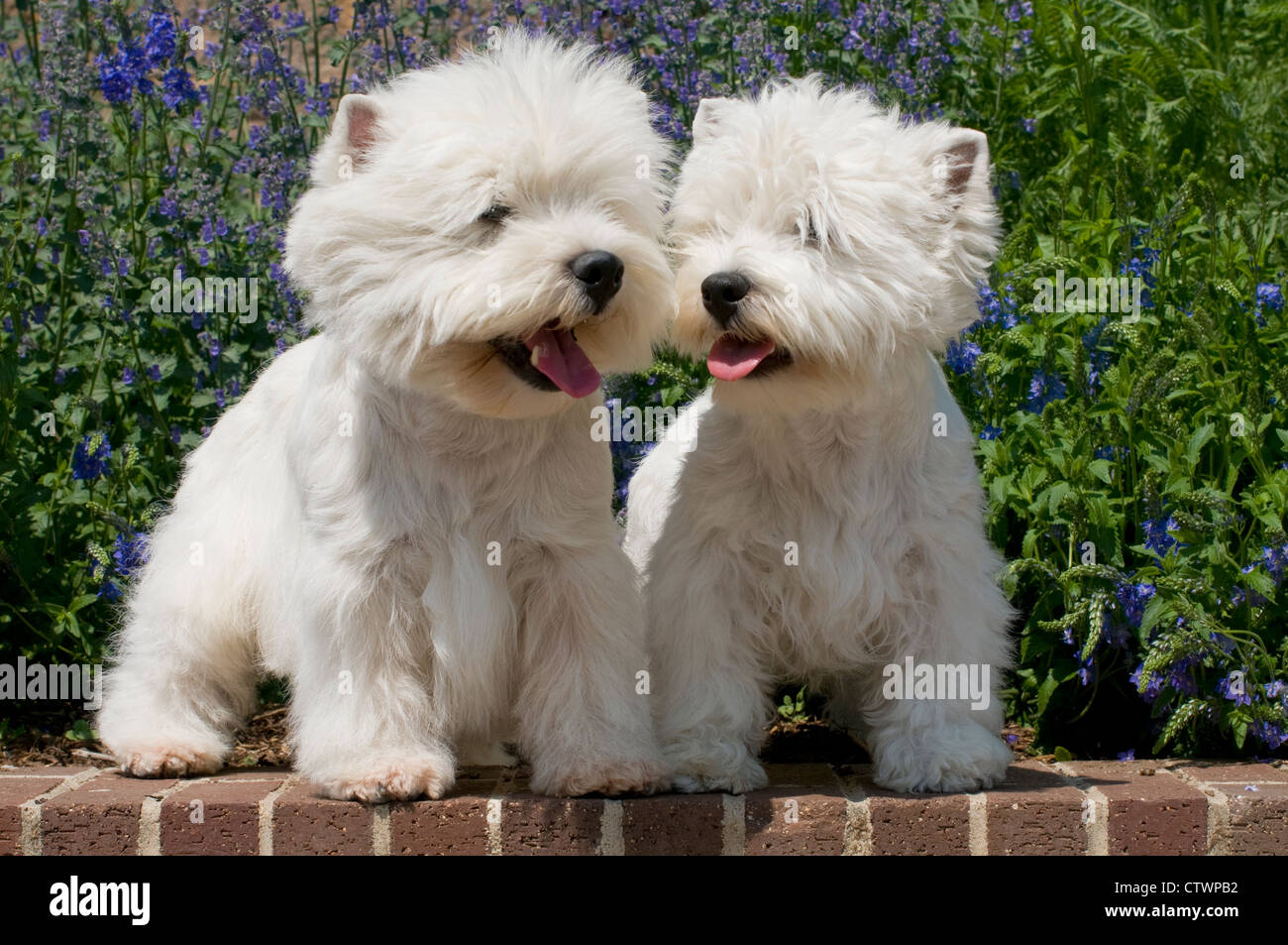Two West Highland Terriers - Stock Image