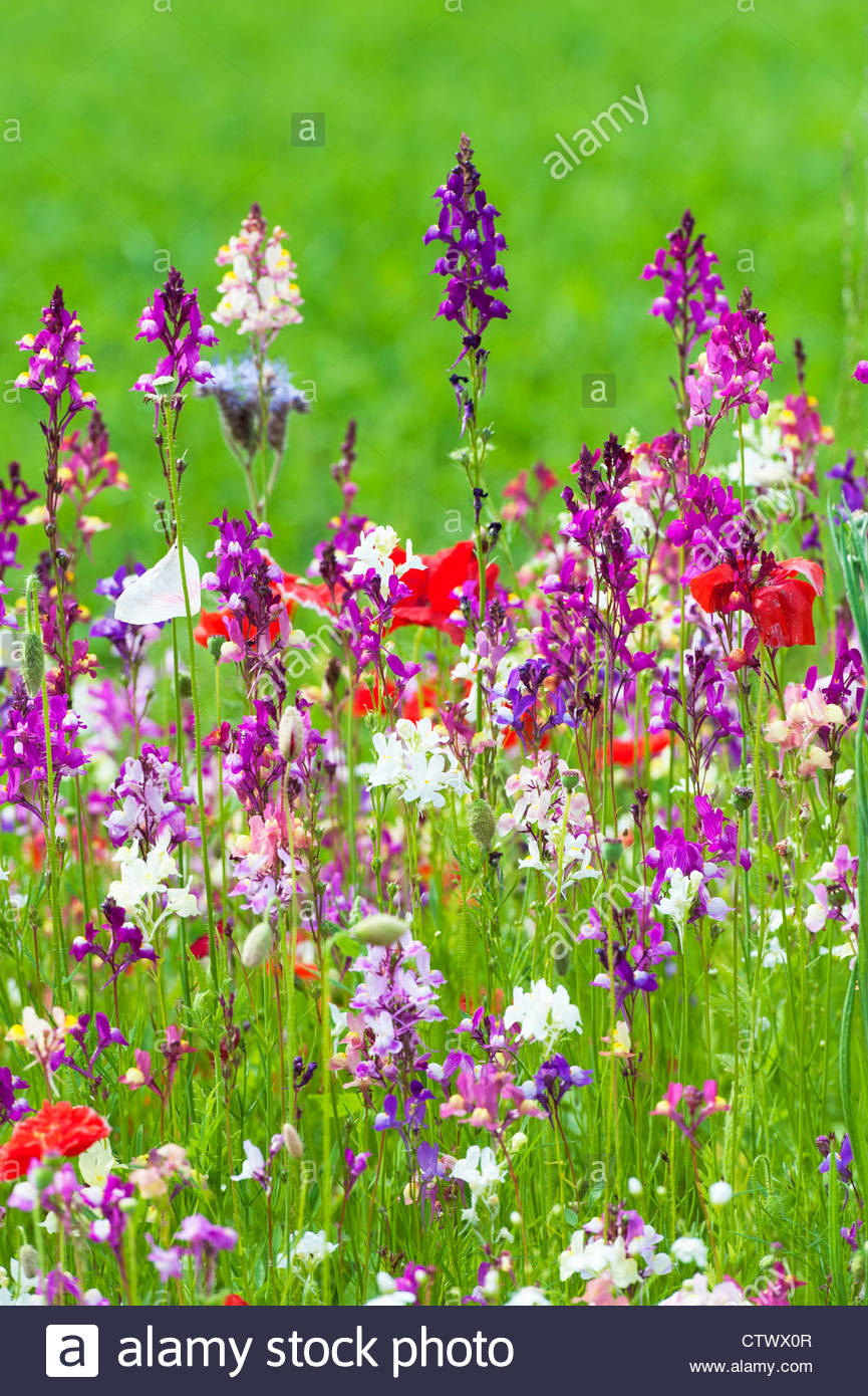 English Wildflowers in a garden. UK - Stock Image