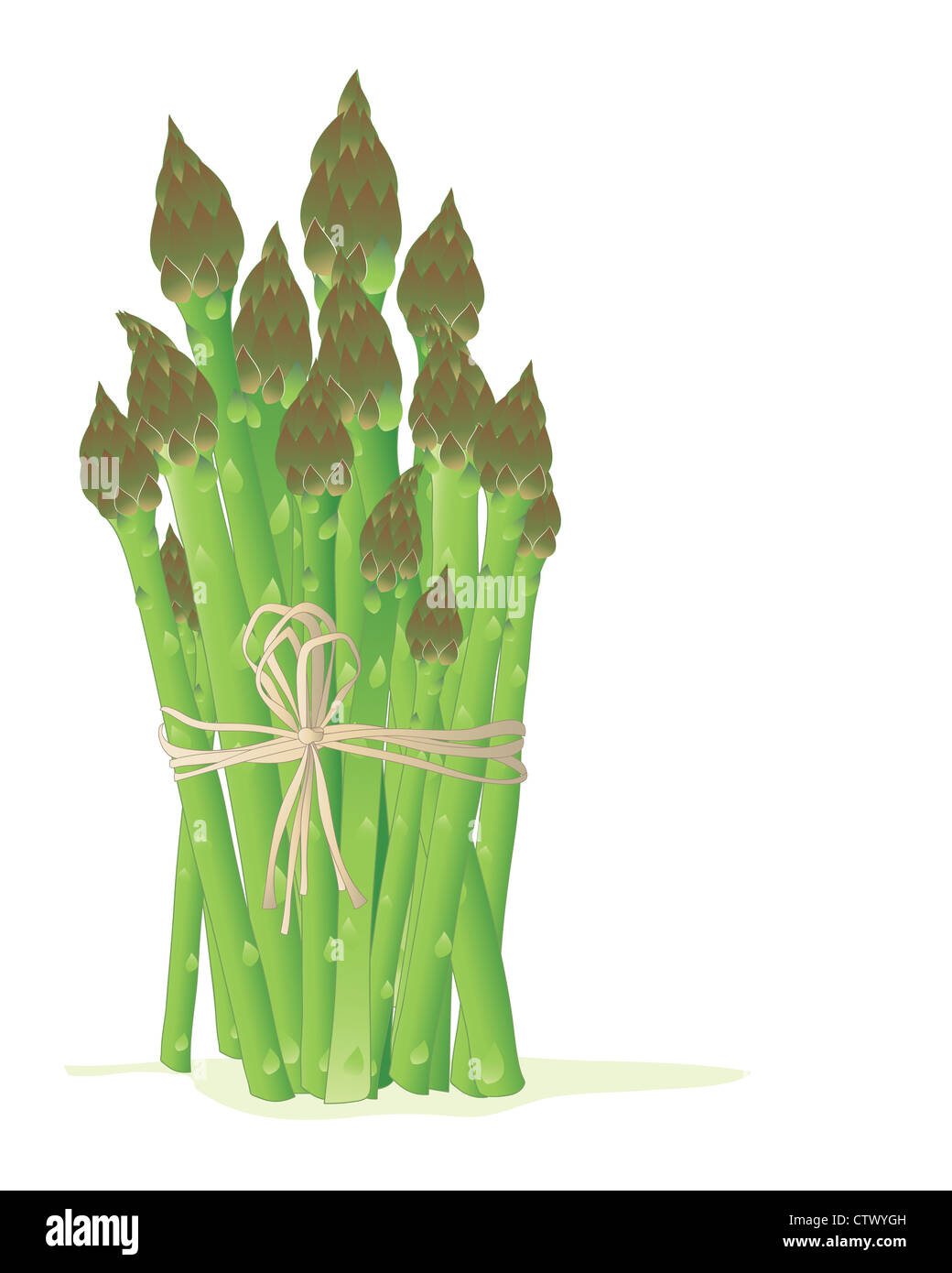 an illustration of a bundle of asparagus tied with a rustic bow on a white background in a food advert format - Stock Image