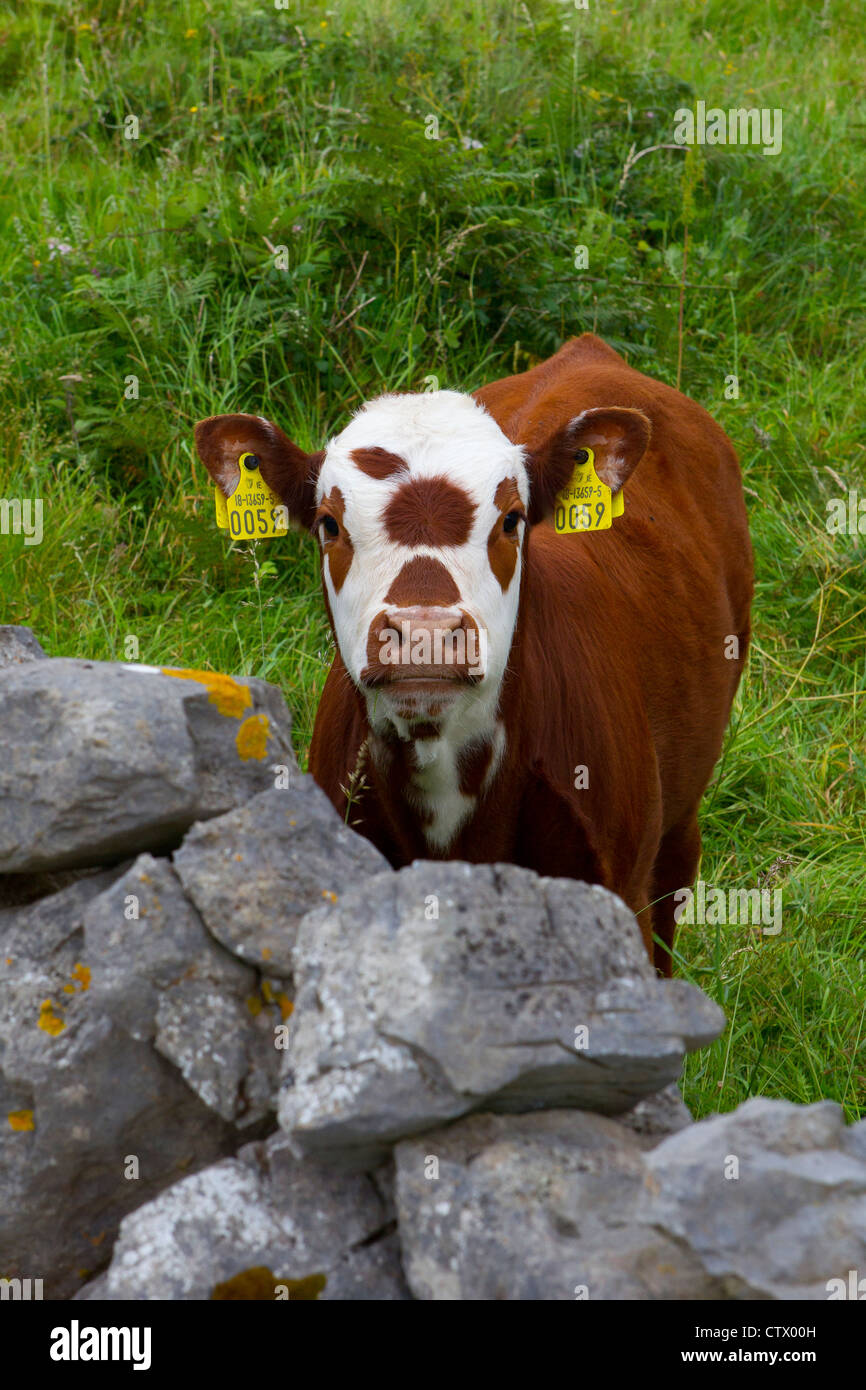 young calf - Stock Image