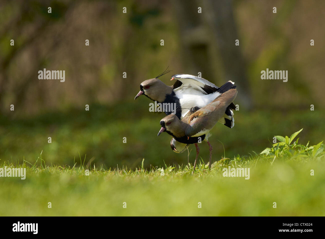 Mating Southern Lapwings - Stock Image