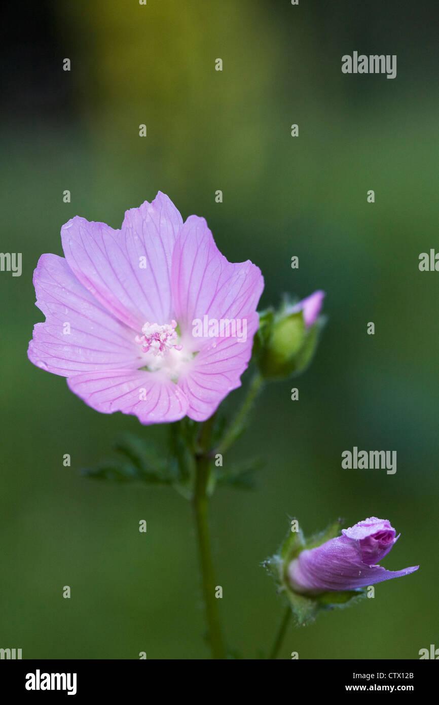 Sidalcea campestris in a wildflower meadow. Meadow Sidalcea. - Stock Image