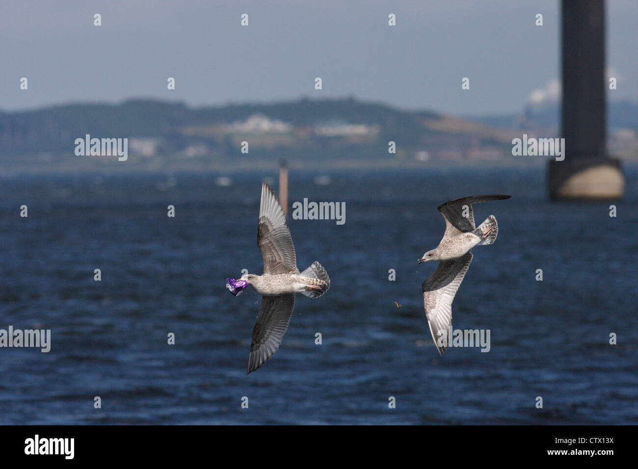 Two juvenile European Herring gulls (Larus argentatus) chasing each other with a chocolate wrapper, Inverness, Scotland, - Stock Image