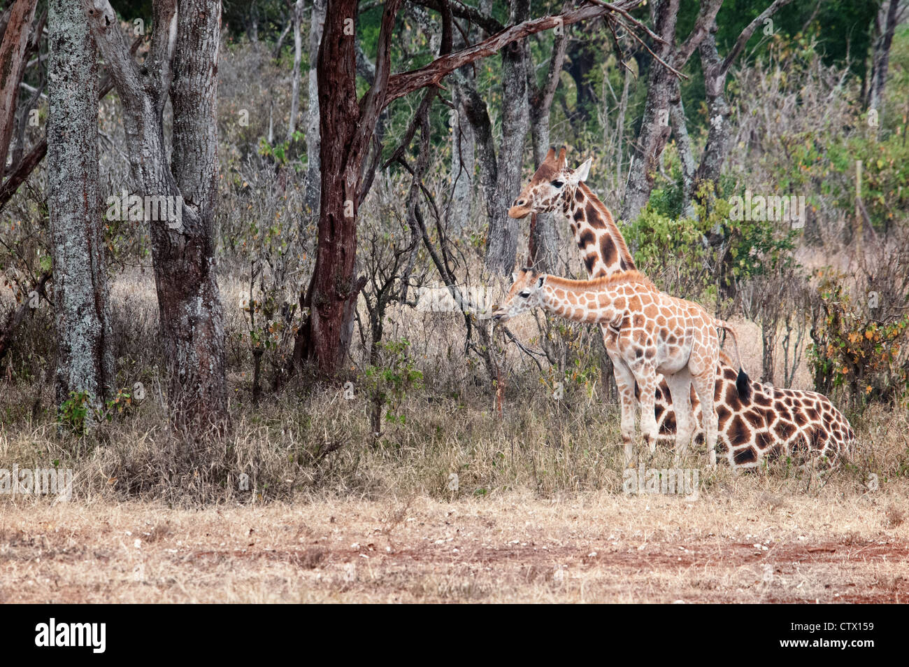 Rothschild Giraffe, Giraffa camelopardalis rothschild, mother sitting with her calf, Giraffe Manor, Nairobi, Kenya, - Stock Image