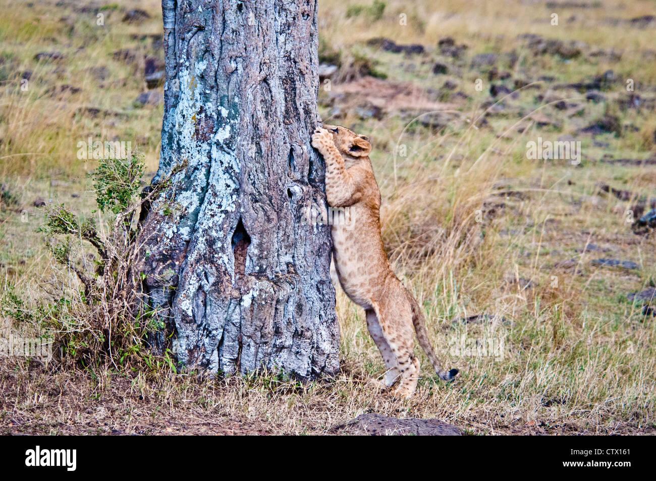 African Lion Cub, Panthera leo, trying to climb a tree, Masai Mara National Reserve, Kenya - Stock Image