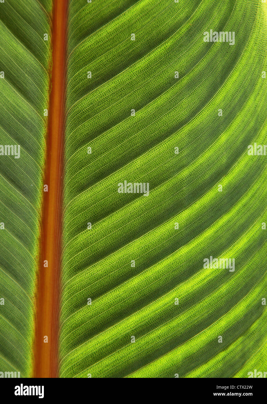 Close up of large green leaf from strelitzia bird of paradise plant - Stock Image