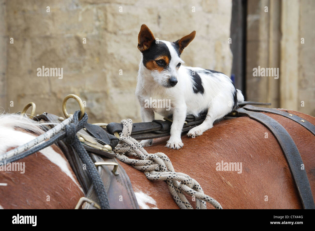 travelling gypsy's dog  in Wells town center Somerset UK - Stock Image