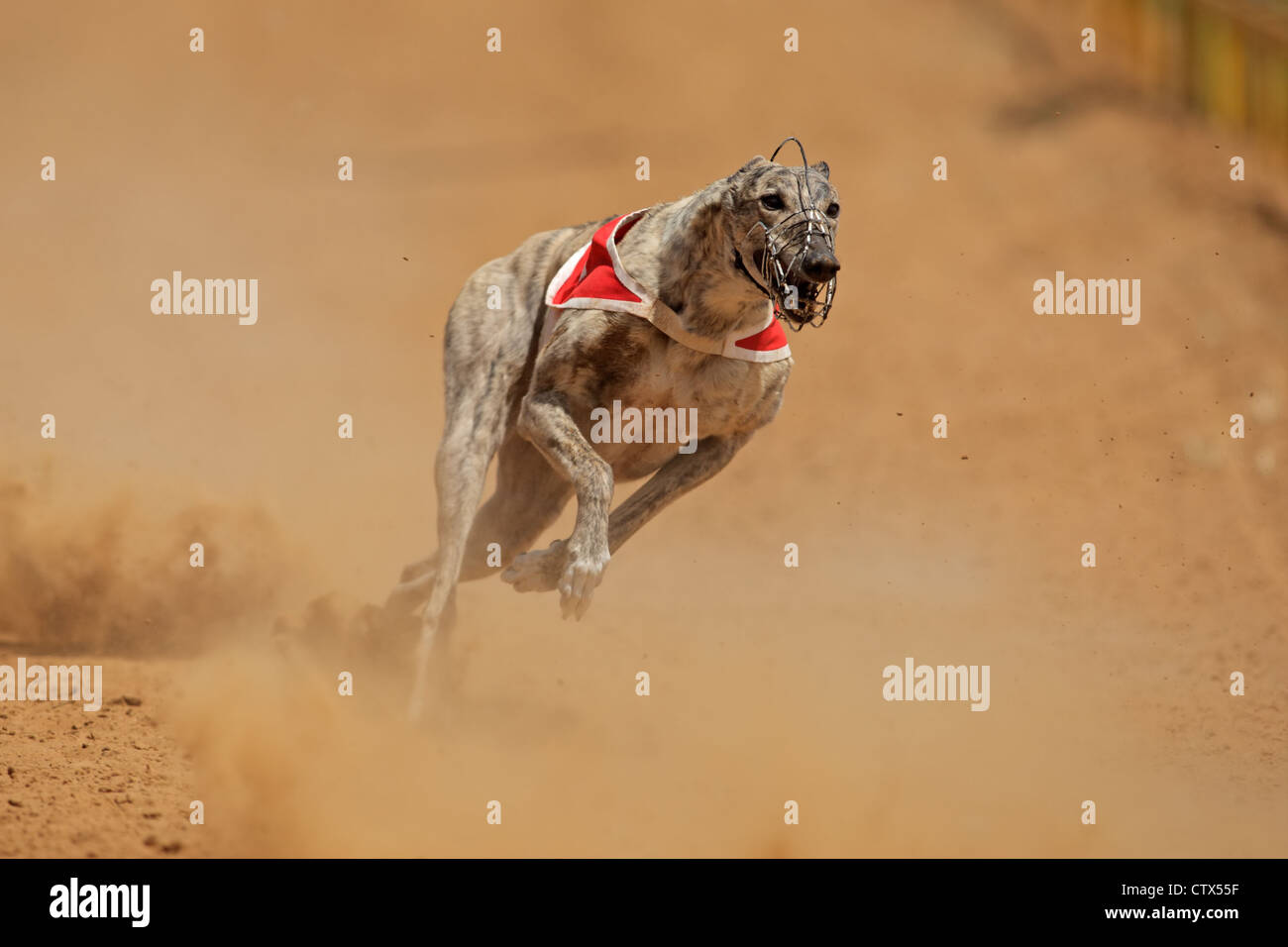 Greyhound at full speed during a race - Stock Image