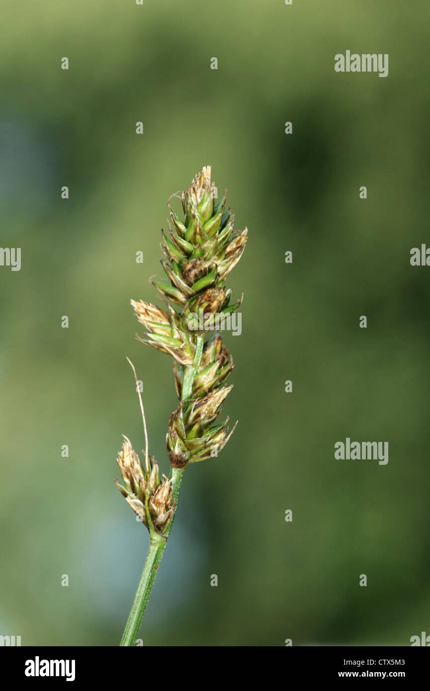 FALSE FOX SEDGE Carex otrubae (Cyperaceae) - Stock Image