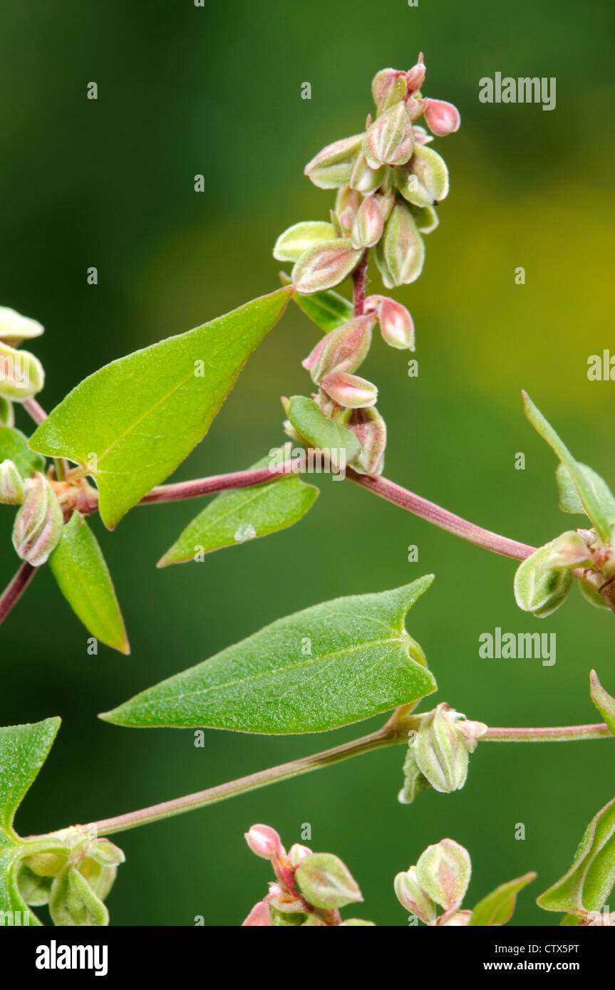 BLACK BINDWEED Fallopia convolvulus (Polygonaceae) - Stock Image