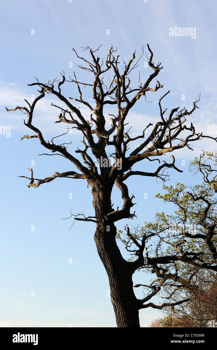 A dead oak (Quercus robur) on the banks of the River Orwell. Pin Mill, Suffolk, UK - Stock Image