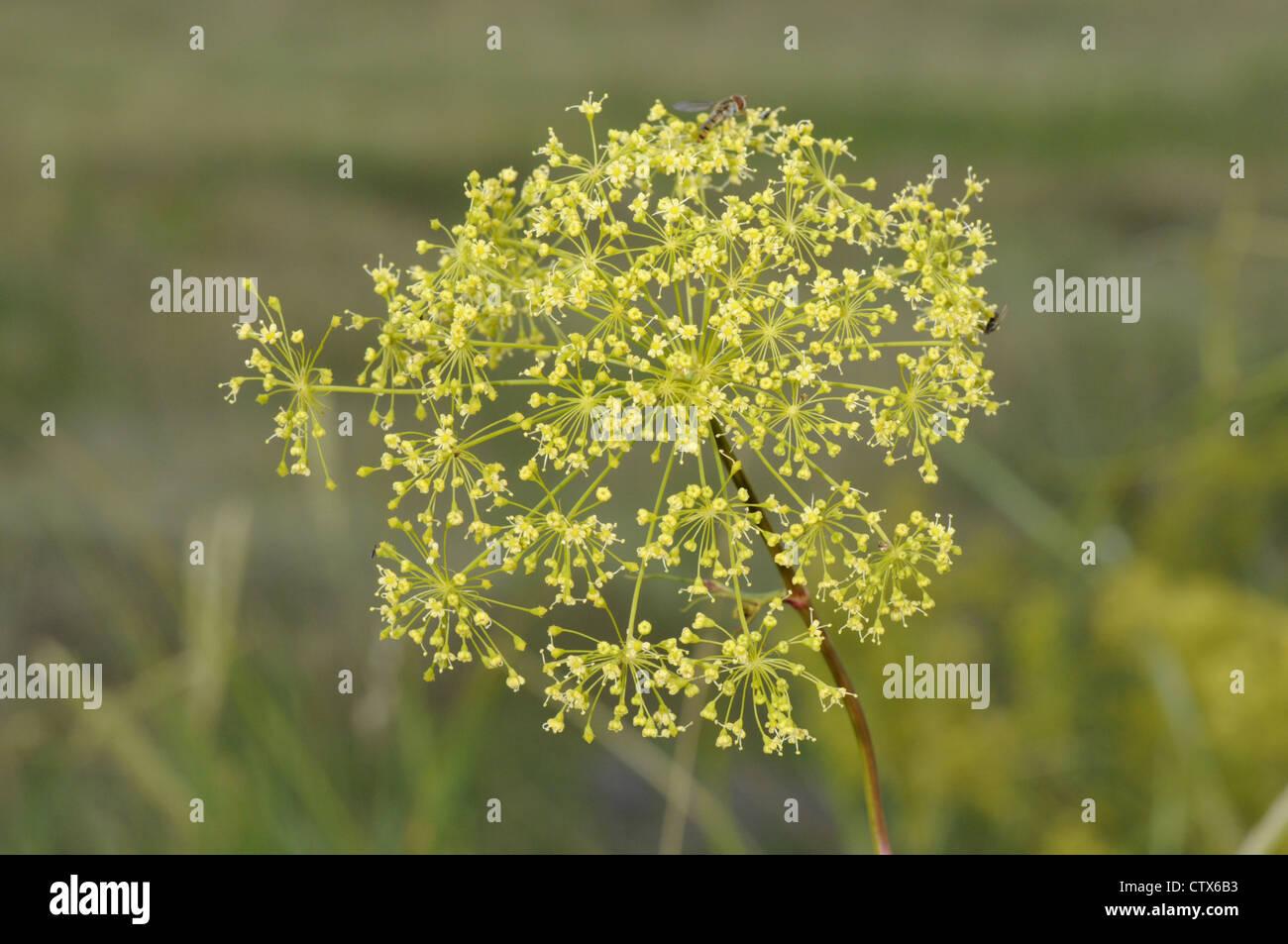 HOG'S FENNEL Peucedanum officinale (Apiaceae) - Stock Image