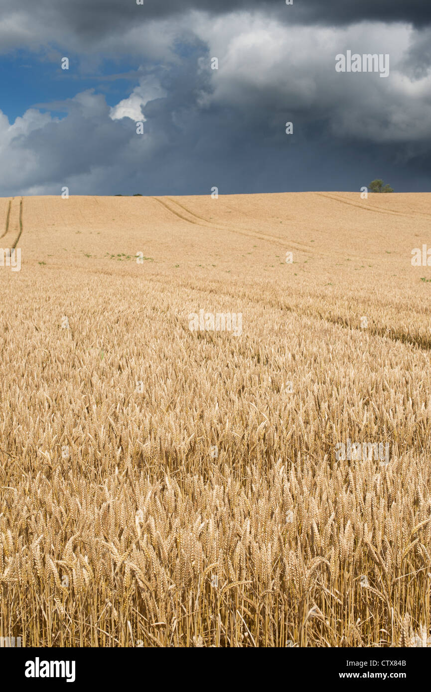 Wheat field against a stormy sky in the english countryside - Stock Image