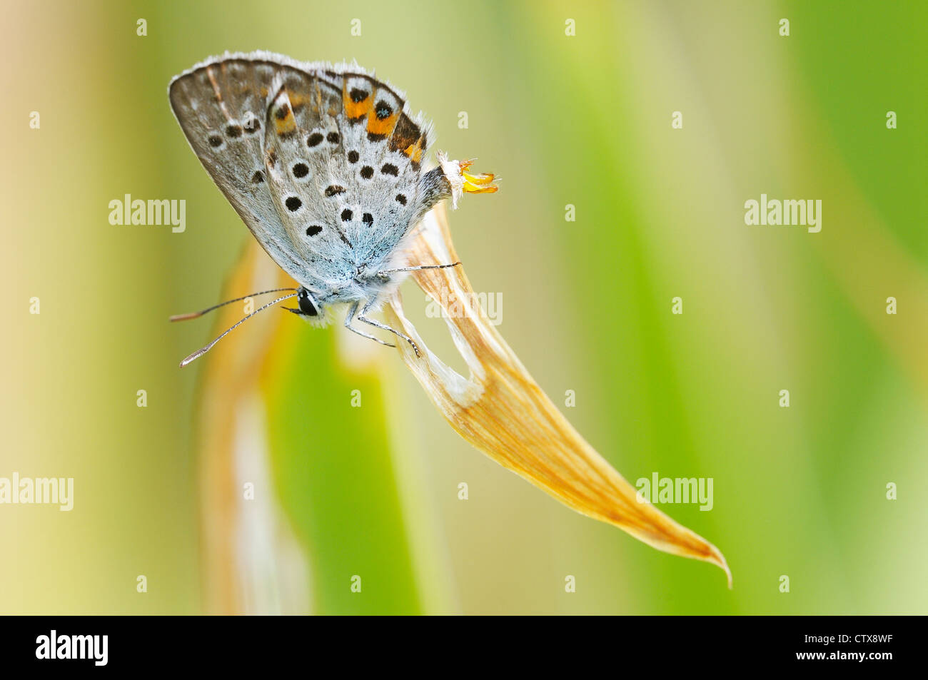 Blue butterfly showing its genitals - Stock Image